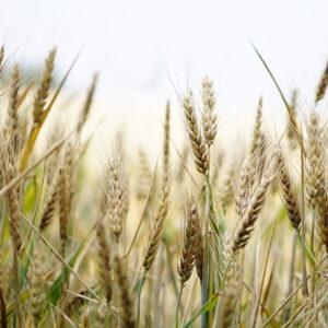 Testset Weizensensitivitaet